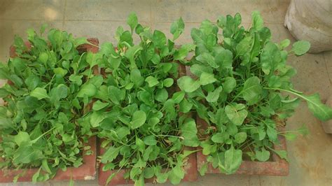 spinach container garden organic gardening by choice