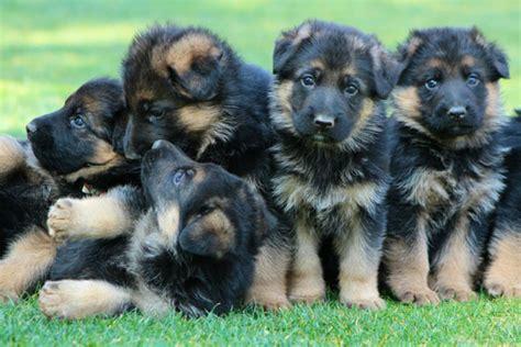 k9 puppies puppies assertive k 9