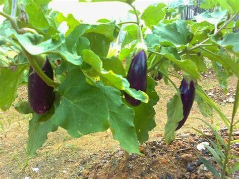 Benih Bibit Terong Ungu jual bibit terong ungu di lapak kebun petani bibit
