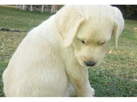 Labrador Afrika 2 labrador puppies for sale bred pretoria east