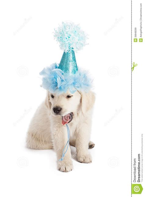 golden retriever hat puppy in hat yawning stock photo image 39848299