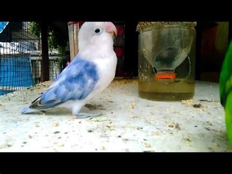 Tempat Makan Burung Koloni memanfaatkan kaleng bekas untuk tempat makan burung doovi