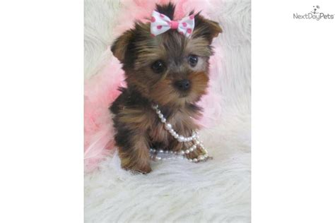 do teacup yorkies shed akc reg terrier puppydog terrier yorkie breeds picture
