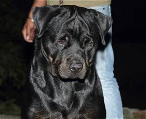 rottweiler kennels in india rottweiler breeders directory india