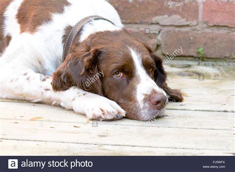 veranda auf englisch englisch springer spaniel hund canis lupus familiaris