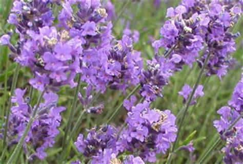 lavender the aroma of peaceful sleep medicinal plants
