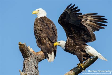 bald eagles birdwatching