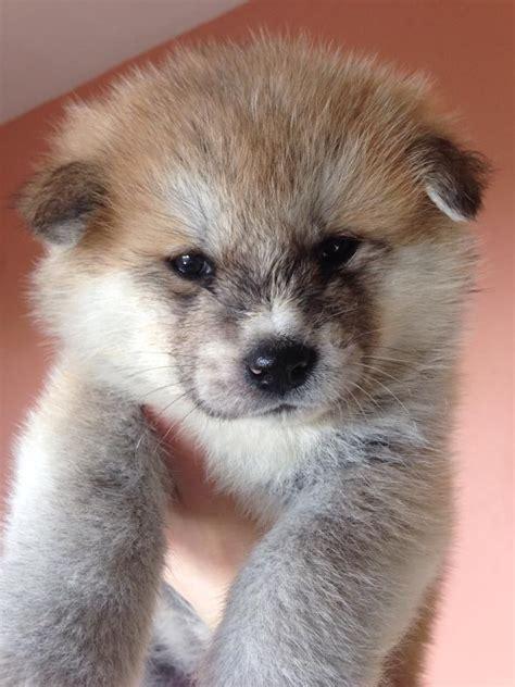 akita puppies for sale in houston m 225 s de 25 ideas incre 237 bles sobre akita inu puppy en shiba inu cachorros
