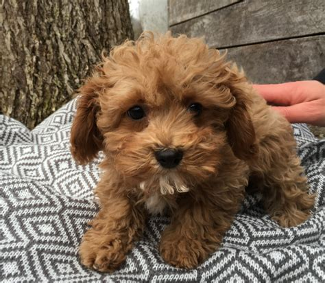 cavapoochon puppies bluebell pup cavapoochon puppies for sale