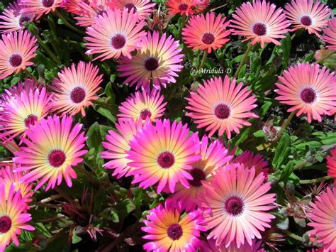 flowers plants friday flowers flowering ice plant travel tales from