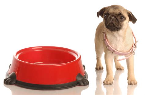 healthy pug 7 healthy pug tips health and diet guide