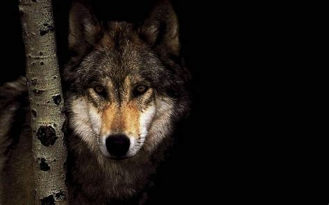 cool wallpaper of wolves black wolf wallpapers wallpaper cave