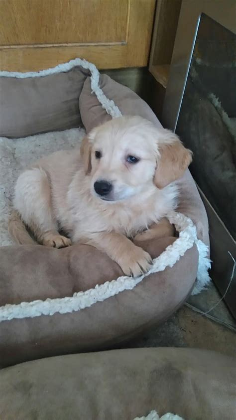 golden retriever puppies for sale swansea beautiful golden retriever puppies for sale swansea swansea pets4homes
