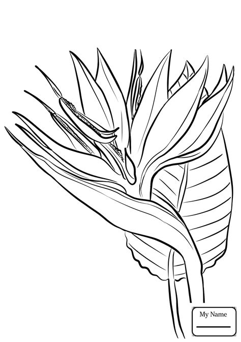 coloring pages of australian flowers unsurpassed bird of paradise coloring page pages for kids