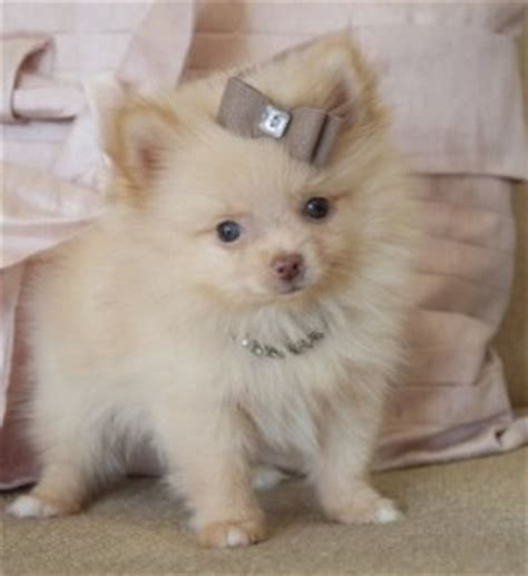brown teacup pomeranian precious white and brown teacup pomeranian puppies for adoption florence al