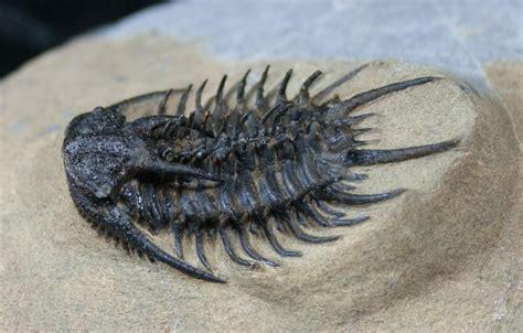 Fossil For looking proceratocephala trilobite