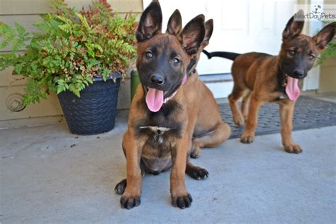 belgian malinois puppies for sale near me belgian malinois puppy for sale near sacramento california c341490d d1a1