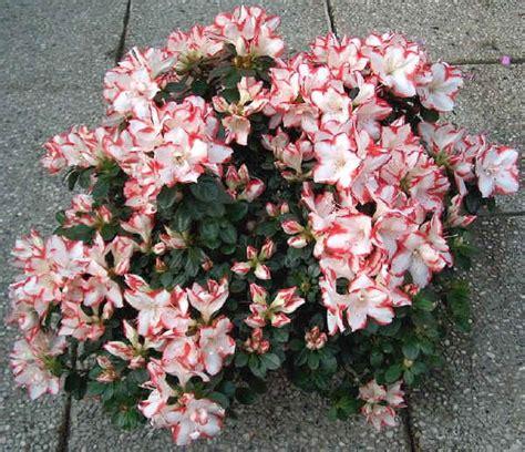 azalea da interno piante da vaso rhododendron rododendro azalea