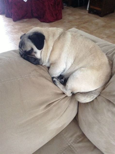 pug squishy 18 hilarious photos that prove pugs can sleep absolutely anywhere