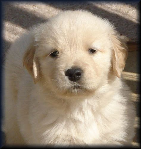 golden retriever breeders tn golden retriever breeders of tennessee quot check here for quality golden retriever