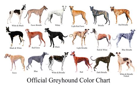 puppy color calculator the greyhound brief history of the breed the happy greyhound