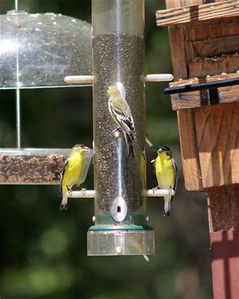 attracting lesser goldfinches carduelis psaltria the