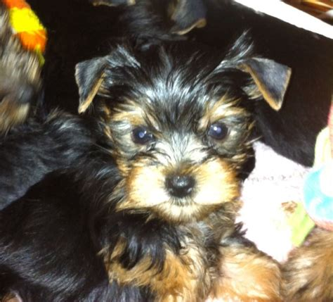 small yorkies for sale uk small yorkies looking for a sweet home east pets4homes