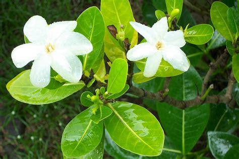 Gardenia Taitensis File Gardenia Taitensis Jpg Wikimedia Commons
