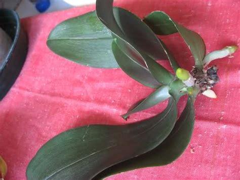 bagnare le orchidee orchidando forum leggi argomento sfagnoterapia diario
