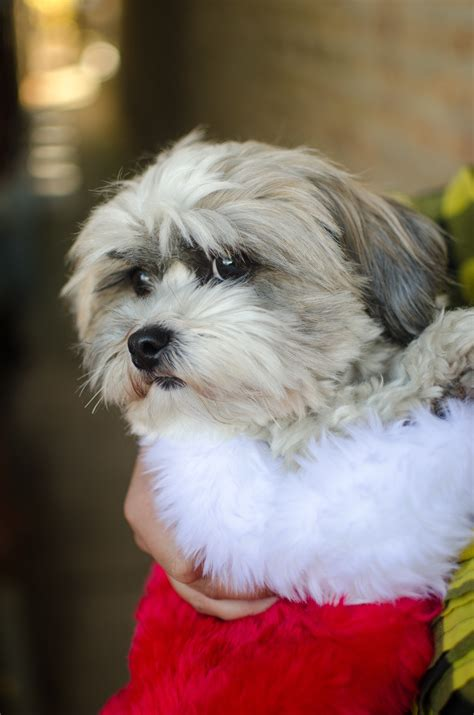 shih tzu original breed free images puppy vertebrate breed lhasa apso