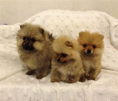 teacup pomeranian brown teacup pomeranian breeds picture