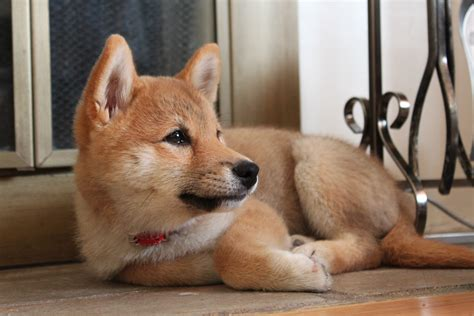 Like A Fox by Meet The Shiba Inu Is That A Fox Hinokitheshibainu