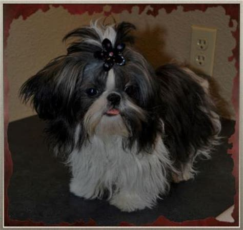 allshihtzu s book of shih tzu care books akc registered imperial and teacup shih tzu s