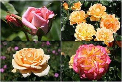 Welche Rosensorten Gibt Es 3544 by Im Garten Pflege Der Rosengew 228 Chse