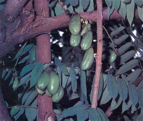 Daun Retsleting Gigi Kwalitas A Coklat belimbing wuluh atasi berbagai jenis penyakit