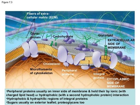 chapter  cell membrane