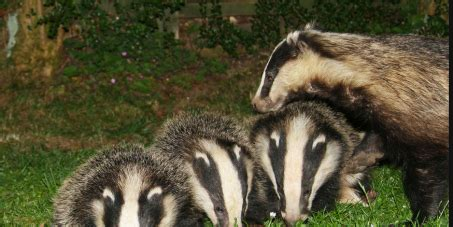 badger cull petition stop the badger cull