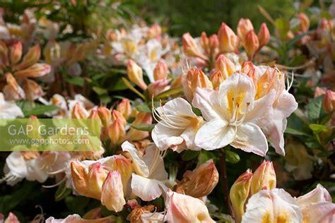 slipper azalea gap gardens rhododendron silver slipper azalea
