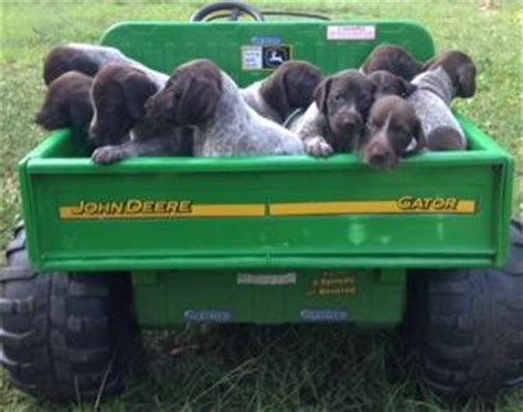 german shorthaired pointer puppies for sale in sc for sale german shorthaired pointer puppies for sale german shorthaired pointer