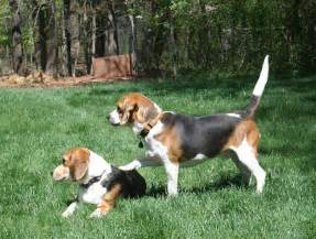 How To Train Dog To Stop Barking we love beagles the ultimate guide to beagles 187 blog