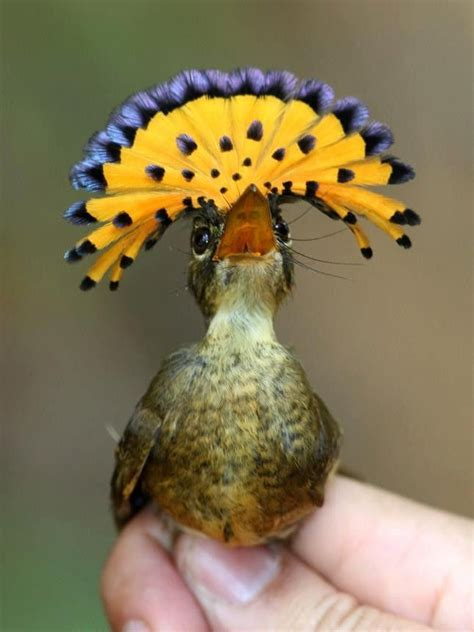 amazing birds royal flycatcher feathers of a bird