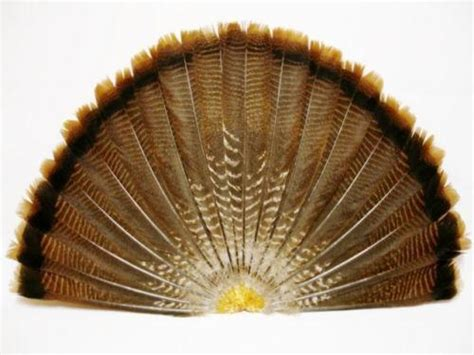 ebay turkey wild turkey feathers ebay