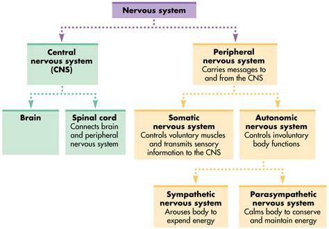 flow diagram of nervous system human nervous system chart flow chart of human nervous