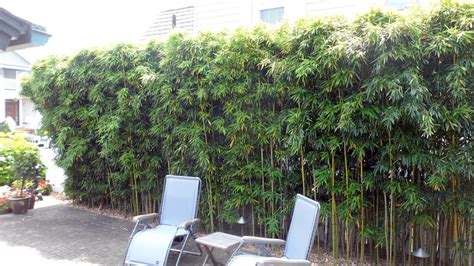 privacy hedges nj bamboo landscaping