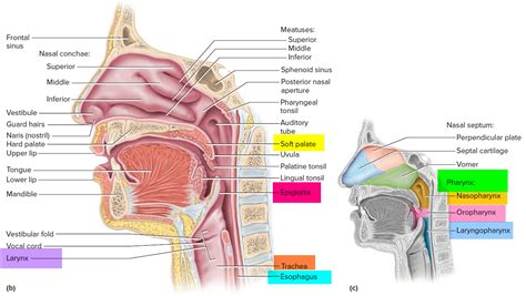 pharynx diagram pharynx anatomy diagram driverlayer search engine