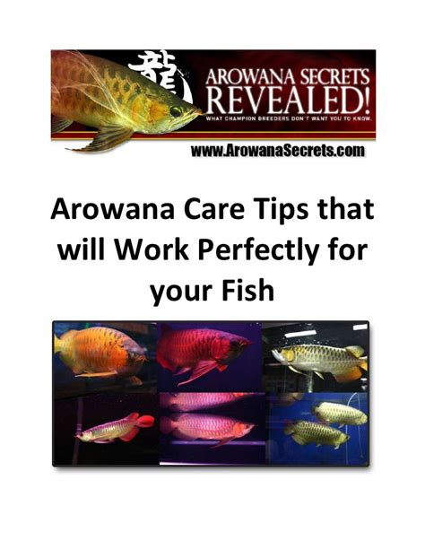 Care Tips 1 by Arowana Care Tips That Will Work Perfectly For Your Fish
