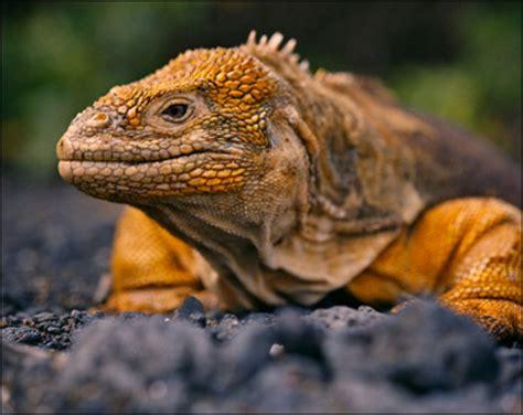alimentazione iguana iguana