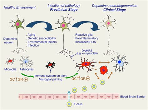 pattern recognition dopamine frontiers inflammation in parkinson s disease role of