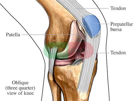 kneecap diagram bursa and tendons of the knee doctor stock