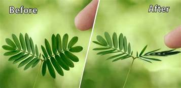 mimosa pudica why do touch me not sensitive plant